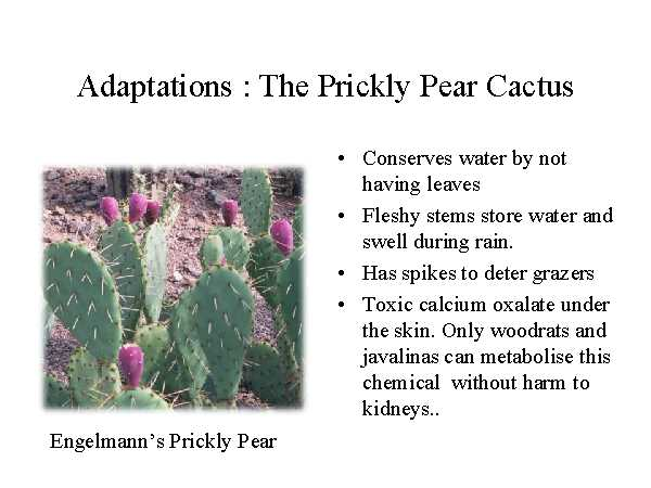Ly Pear Cactus